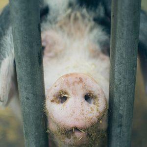 farm-animals-pig-500