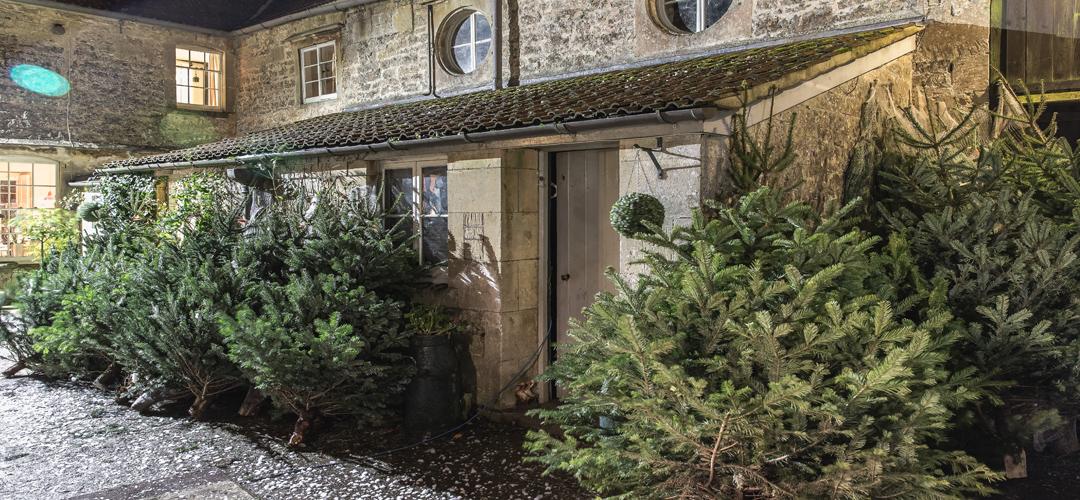 Christmas trees at Rainbow Wood Farm, Bath