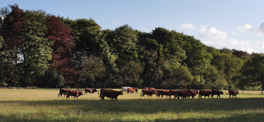 Cattle at Rainbow Wood Farm, Bath