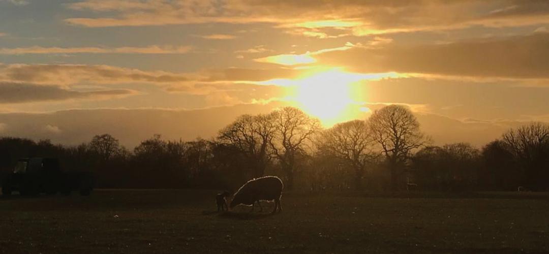 Sheep at Rainbow Wood Farm ,Bath
