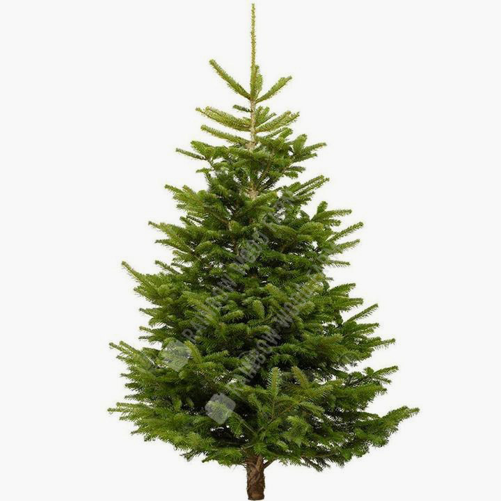 Nordmann Christmas Tree - Christmas Trees, Bath