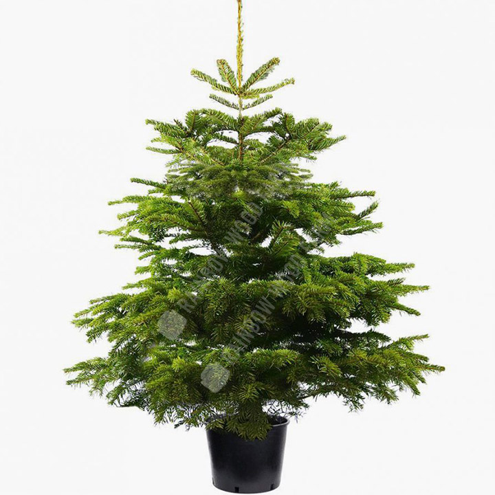 Premier Nordmann Christmas Tree In a Pot with Roots – Christmas Trees, Bath