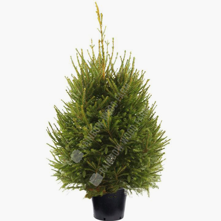 Norway Spruce Fresh Cut Christmas Tree in pot with roots - Christmas Trees, Bath