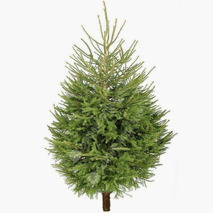 Norway Spruce Fresh Cut Christmas Tree - Christmas Trees, Bath